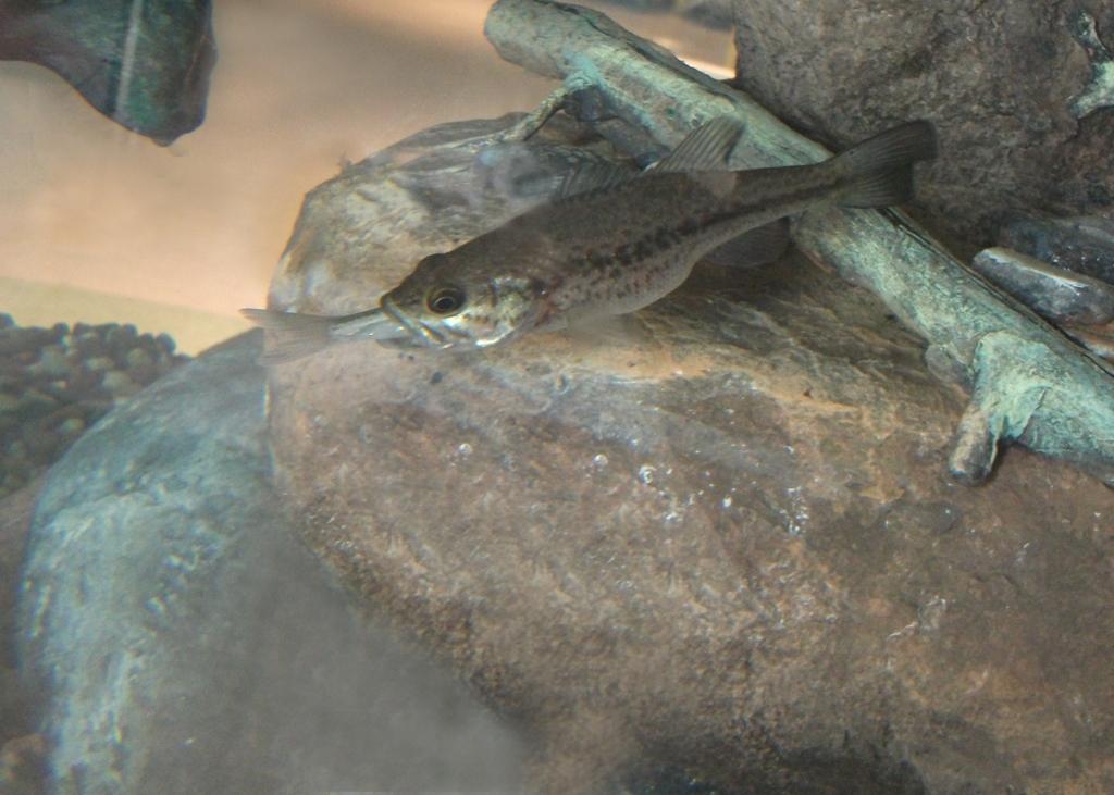 largemouth bass eating - photo #1