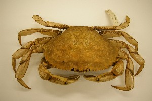 Cancer magister, Dungeness crab, CMNC 2004-6024