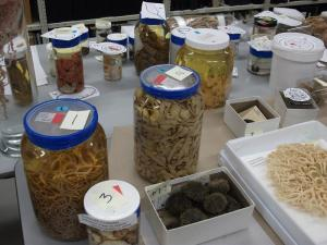Specimens being prepared for display
