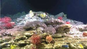 A rock ledge populated by various sponges (Porifera), soft corals of the genus Anthomastus, and a many armed brisingid sea star (Asteroidea: Brisingida). (Flemish Cap Dive 3)