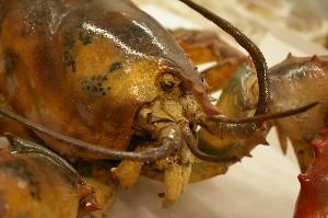 American lobster face - Homarus americanus