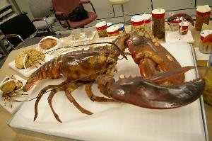 American lobster - Homarus americanus