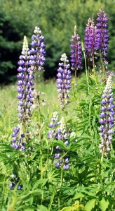 Wild lupines from Québec