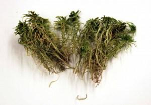 Space Moss - Sphagnum girgensohnii