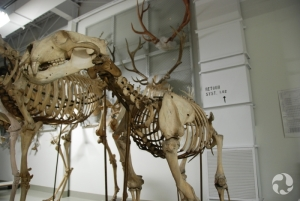A polar bear (Ursus maritimus) skeleton.