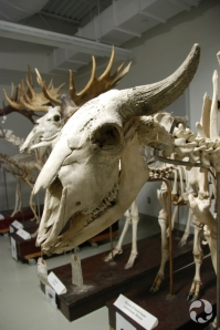 Mounted skull and skeleton of an American bison (Bison bison) male.