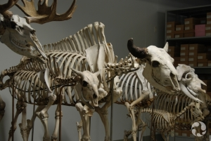Moose (Alces americanus), American bison (Bison bison) and muskox (Ovibos moschatus) skeletons in our collection facility.