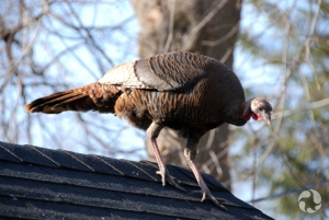A Wild Turkey (Meleagris gallopavo) perched on a garage roof.