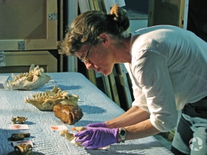 Carolyn Leckie examines several animal skulls.