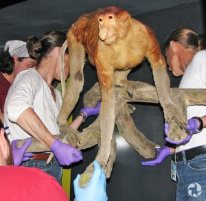 Four people lifting a specimen into a display case.