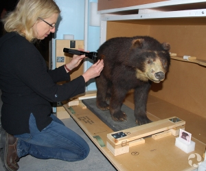 Luci Cipera examines the fur on a spectacled bear (Tremarctos ornatus) specimen.