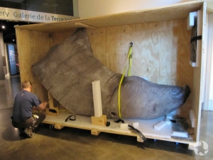 A man unpacks a crate that contains the head and neck of a life-sized model of Indricotherium.