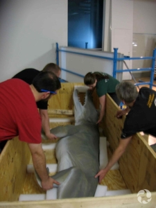 Several people preparing to lift a life-sized model of Ambulocetus from its wooden crate.