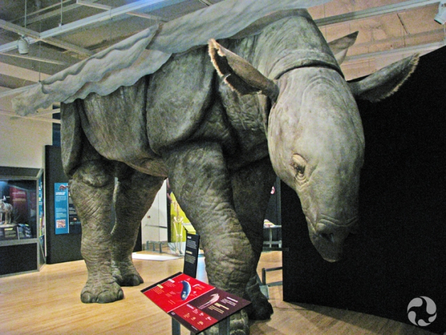 The life-sized model of Indricotherium.