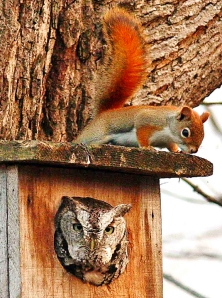 A red squirrel (Tamiasciurus hudsonicus) on the roof of a nest box that houses an Eastern Screech-Owl (Megascops asio).