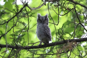 A juvenile Eastern Screech-Owl (Megascops asio) in a tree.