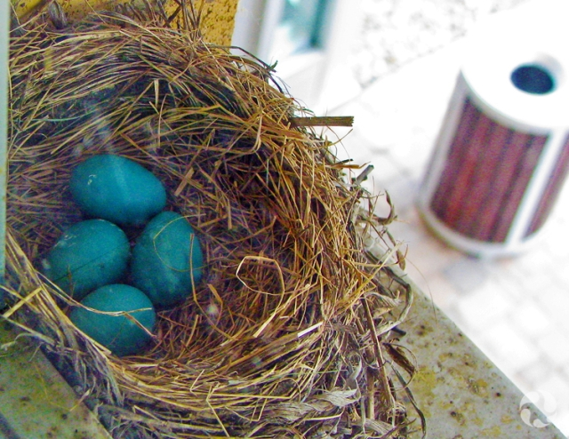 Four eggs in the nest of an American Robin (Turdus migratorius) sitting on a window ledge.