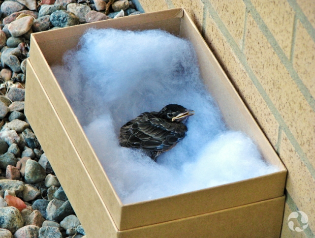 The young American Robin in its box on the ground beside the building.