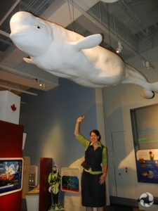 An educator points to a beluga (Delphinapterus leucas) model that hangs from a gallery ceiling.