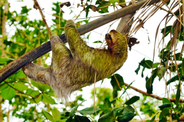A sloth moves in a tree, hanging from a branch by all fours.