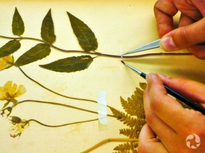 Close-up of Marion's hands wielding tweezers and a paint brush on a strip of rice paper while reattaching a plant stem to a page.