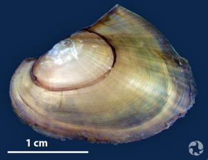 A juvenile pink heelsplitter (Potamilus alatus) mussel and a bar indicating the scale of 1 cm.