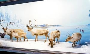 Woodland caribou (Rangifer tarandus caribou) specimens in a diorama at the Canadian Museum of Nature.