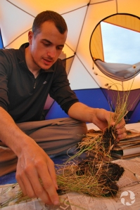 Inside a tent, a botanist uses newspapers in the pressing of cottongrass samples (Eriophorum sp.).