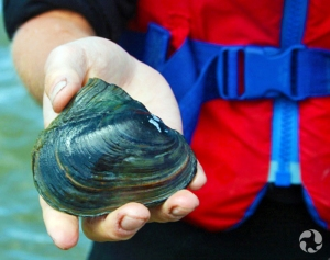 An adult pink heelsplitter (Potamilus alatus) mussel in a woman's hand.