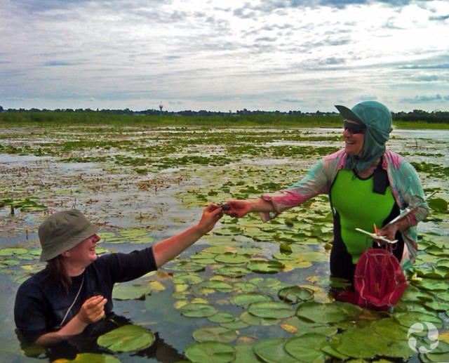 A researcher hands a mussel to a colleague in a patch of water lilies in the Ottawa River. The colleague holds a ruler, a bag and a notepad.
