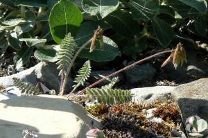 The pendant-pod oxytrope (Oxytropis deflexa subsp. foliolosa) as it was found growing.