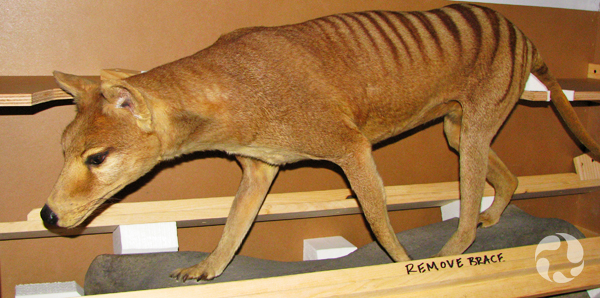 A Tasmanian wolf (Thylacinus cynocephalus) in its case.