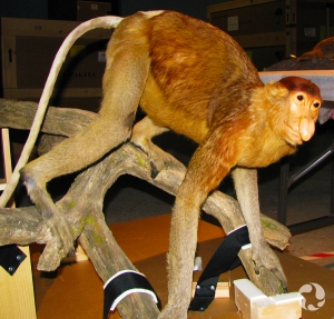 A male proboscis monkey (Nasalis larvatus) in its case.
