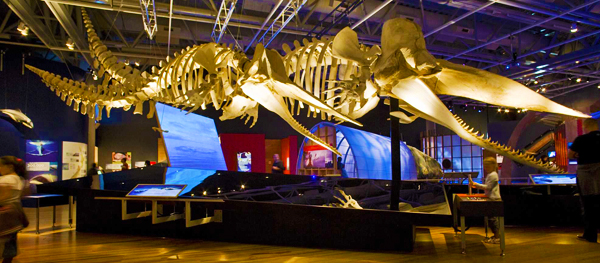 Two articulated sperm whale skeletons (Physeter macrocephalus) in the exhibition Whales Tohorā.