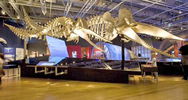 Two sperm-whale (Physeter catodon) skeletons in Whales Tohorā.