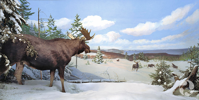 The moose (Alces americanus) diorama in the museum's Mammal Gallery.