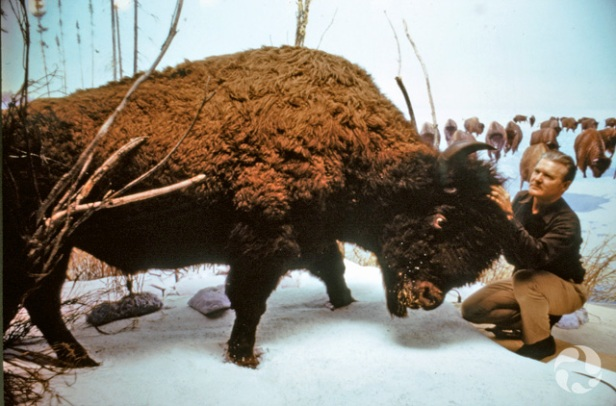 Clarence Tillenius crouches beside a mounted bison (Bison bison) specimen in the bison diorama in 1960.