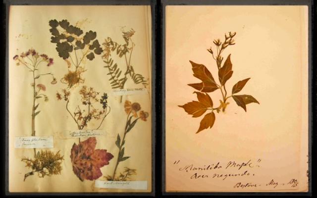 Two images: Several dried and pressed plants affixed to a page in an album, and a twig of Manitoba maple (Acer negundo) with leaves, flowers and fruit, affixed to a page in an album.