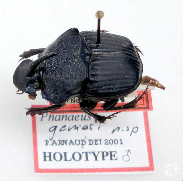 A dung beetle (Phanaeus genieri) mounted on a pin with its collection label.