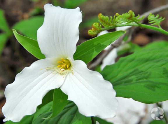 The flower of a white trillium (Trillium grandiflorum), with a spider at the centre.