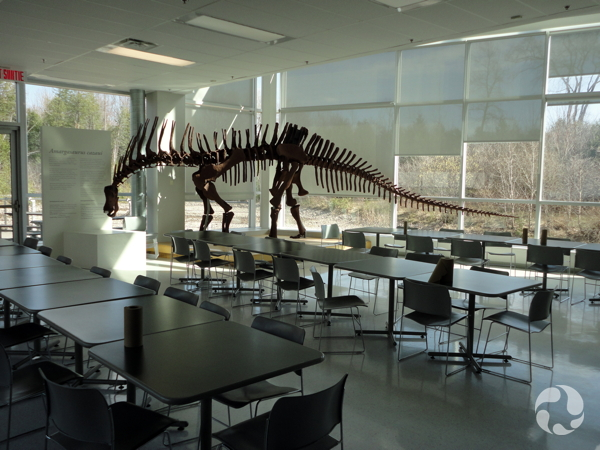 The sauropod dinosaur (Amargasaurus cazaui) skeleton (cast) viewed across a room full of tables and chairs.