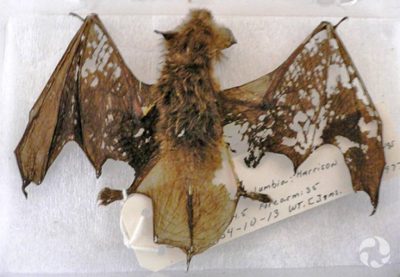 A bat specimen (Myotis yumanenesis) showing damage.