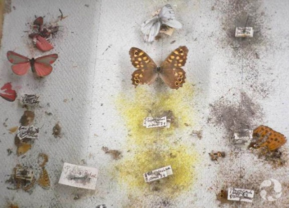 A half-eaten collection of butterflies mounted on pins.