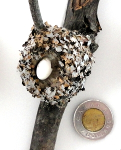 A nest and egg of a Ruby-throated Hummingbird (Archilochus colubris) with a $2 coin beside for scale.