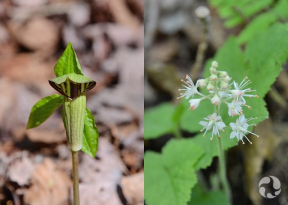 Collage: Jack-in-the-pulpit (Arisaema triphyllum) and Foamflower (Tiarella sp.) in bloom.
