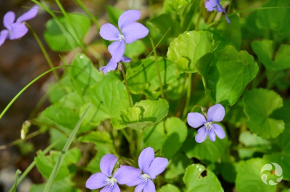 Marsh blue violet (Viola cucullata) in bloom