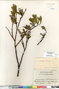 A herbarium sheet from the National Herbarium of Canada, with a dried specimen of Salix planifolia and identification labels.