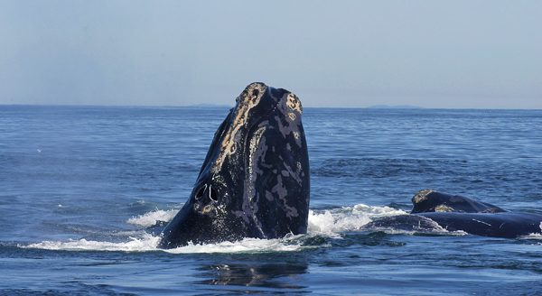 The head of a North Atlantic right whale (Eubalaena glacialis) above the surface, alongside the back of another whale.
