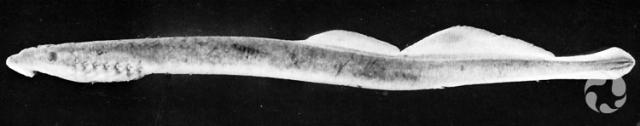 A lamprey (Lethenteron alaskense).