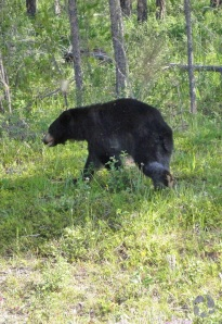 A black bear running in front of some trees.